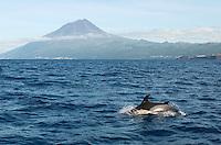 Pico peak and common dolphins. Delphinus delphis, Pico island, Azores, Portugal