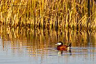 Ruddy Duck at Freezeout Lake WMA near Fairfield, Montana, USA