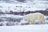 01874-12516 Polar bear (Ursus maritimus) walking in winter, Churchill Wildlife Management Area, Churchill, MB Canada