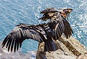 "California Condor #204 ""Amigo"" and #646 ""Kodama,"" wings spread on a cliff along Highway 1 on the Big Sur Coast, California"