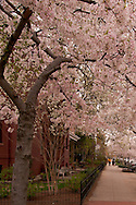 Springtime, dogwoods blooming, family walking