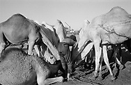 MALI. In Ekar Tadriant. 27/02/1987: Camels drinking at water well.
