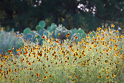 Backlit wildflowers, Los Madrones Ranch in the Hill Country, Texas, USA.