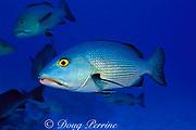 red reef snapper, Lutjanus bohar, red bass to Australians, The Cod Hole, Ribbon Reefs, Great Barrier Reef, Australia ( Western Pacific Ocean )