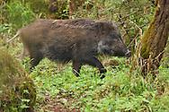 Wild boar, Sus scrofa, Tangjiahe National Nature Reserve, NNR, Qingchuan County, Sichuan province, China