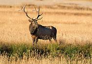 grass on antlers of bull Elk