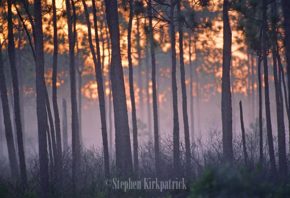Pine forest at sunrise - Mississippi.