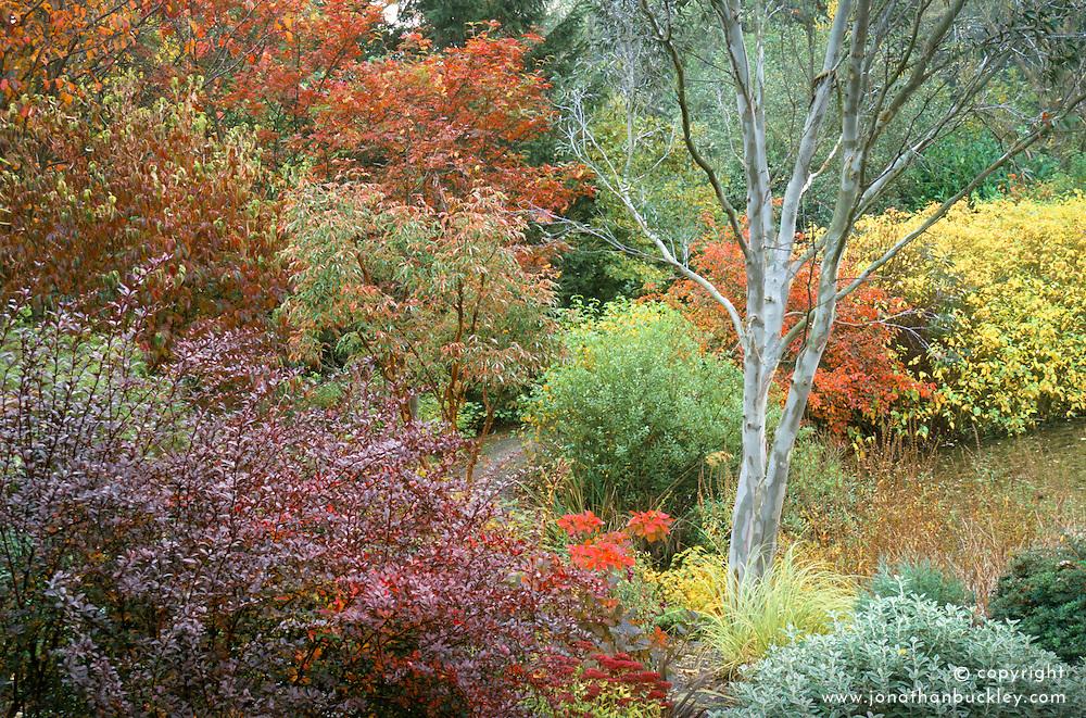 Autumn colours of Cornus kousa, sorbus and berberis with the silver bark of Eucalyptus niphophila at The Dingle, Weshpool