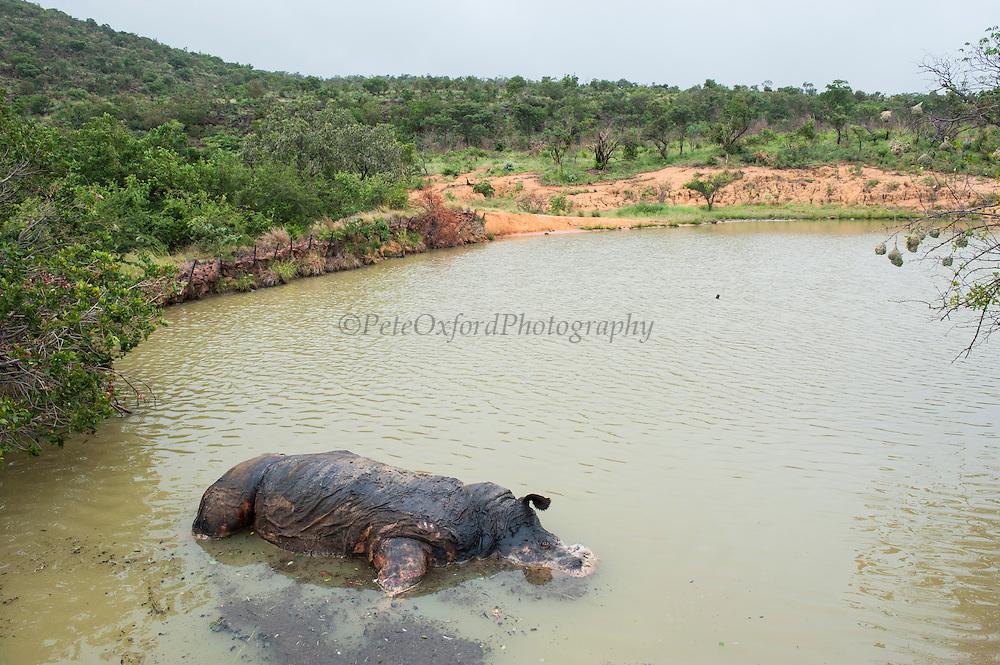 Dead White rhinoceros (Ceratotherium simum)<br /> , <br /> SOUTH AFRICA<br /> RANGE: Southern & East Africa<br /> ENDANGERED SPECIES