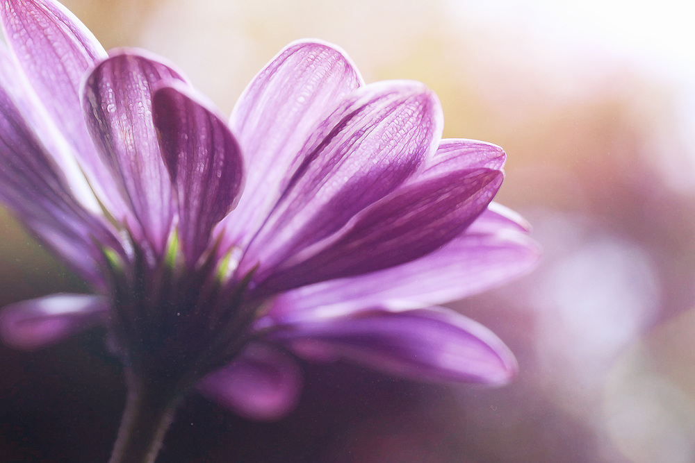 A Soft Focus Purple Daisy Captured From Behind With Soft Purple Warm Light