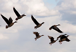 California: White fronted geese at Lower Klamath Refuge in California.  Photo copyright Lee Foster california117642.