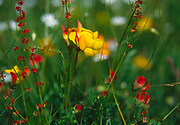 AREHX2 Meadow Vetchling