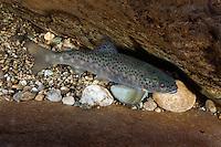 Salmon salar or Salmon trutta<br /> River Orkla, Rennebu, Norway