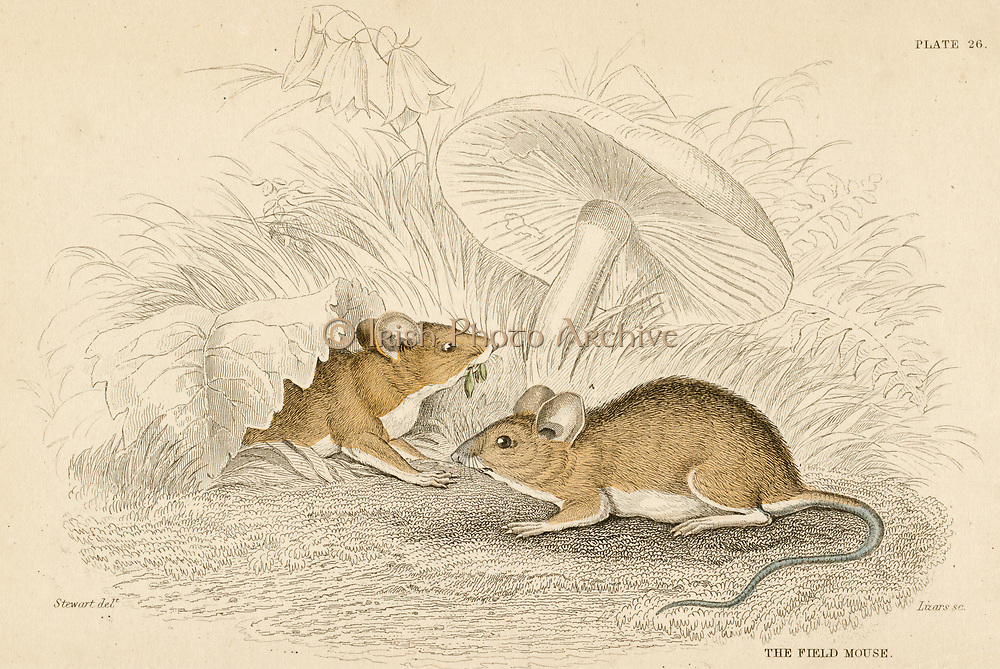'Field Mouse - Mus sylvatica: small rodent. Hand-coloured engraving from ''A History of British Quadrupeds'',  Edinburgh, 1838.'