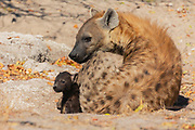 A spotted hyena female and her cub (Crocuta crocuta) laying at the entrance of the den, Moremi, Okavango Delta, Botswana