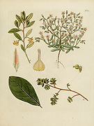 hand painted Botanical illustration of flower details leafs and plant from Collectaneorum Supplementum by Nicolai Josephi Jacquin Published 1796. Figure 13