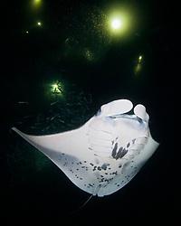 Manta Ray, Mobula alfredi, feeding on plankton at night, off Kona Coast, Big Island, Hawaii, Pacific Ocean
