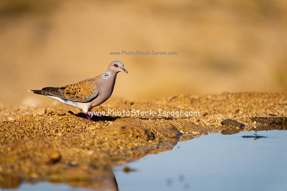 Turtle Dove (Streptopelia turtur) reflected in a water pool in the desert, negev, Israel in June