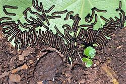 Larvae Eating Leaf