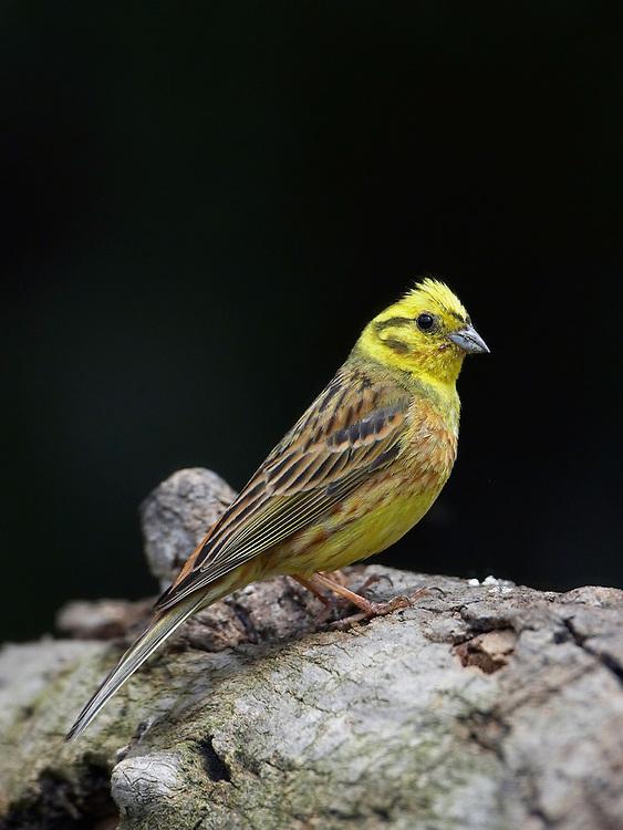 Yellowhammer (Emberiza citrinellus) Pusztaszer Nature Reserve, Hungary