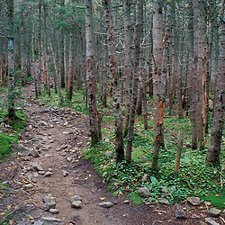 Franconia Notch Trail just below Mt. Liberty. Boreal Forest.  White Mountain N.F., NH
