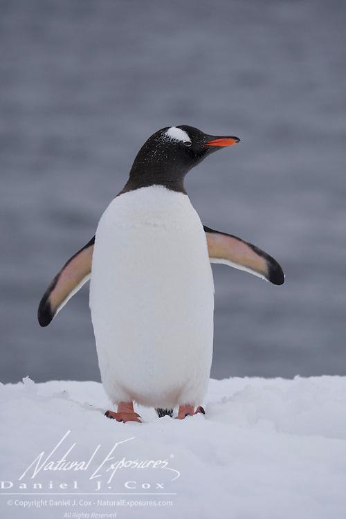 Gentoo penguin. Half Moon Island. Antarctica.