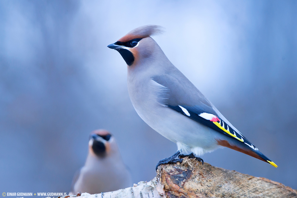 The Bohemian Waxwing (Bombycilla garrulus) is a member of the waxwing family of passerines. In Iceland it is a wagrant.