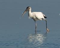 Wood Stork (Mycteria americana). Fort De Soto Park. Pinellas County, Florida. Image taken with a Nikon D2xs camera and 80-400 mm VR lens.