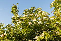 Gelderse roos, Viburnum opulus