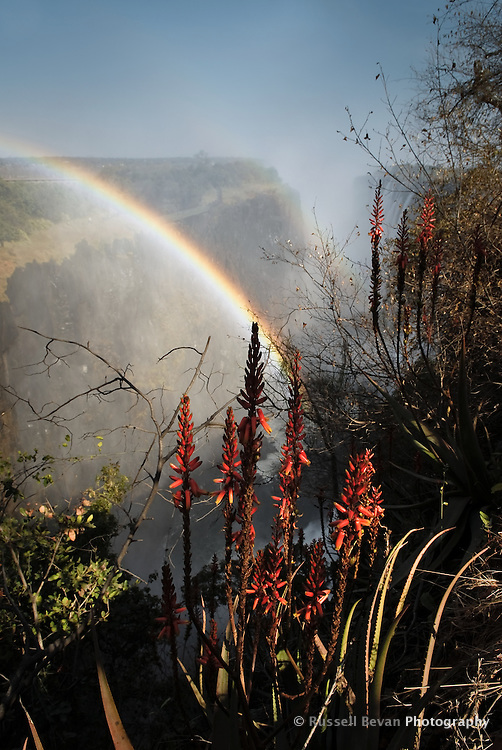 Aloe flowers with rainbow at Victoria Falls, Zambia