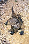 Little Cayman gray rock iguana, <br /> Cyclura nubila caymanensis (c)<br /> endemic subspecies, critically endangered,<br /> Turtle Farm, Grand Cayman