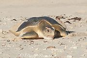 Australian flatback sea turtle (Natator depressus), endemic to Australia and southern New Guinea, female returning to sea after nesting, Western Australia