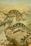 The linsangs are four species of tree-dwelling carnivorous mammals From the book ' Royal Natural History ' Volume 1 Edited by  Richard Lydekker, Published in London by Frederick Warne & Co in 1893-1894