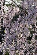 Cherry Blossoms in Eden Park,Eden Park,Cincinnati,Ohio.
