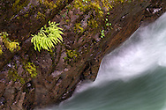 Maidenhair Ferns growing in the canyon walls above the Little Qualicum River at Little Qualicum River Provincial Park in British Columbia, Canada