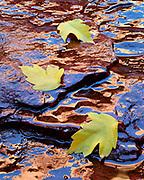 Boxelder Leaves fallen on Spring Seep, Kolob Canyons, Zion National Park, Utah
