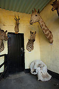 Mounted african wildlife and an elephant skull used for educational display at the Chipangali Wildlife Orphanage, Bulawayo, Zimbabwe. © Michael Durham / www.durmphoto.com