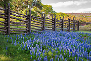 Traveling Texas back roads, hunting Texas wildflowers, Hill Country, Texas. Double spread, cover story, March 2021, Texas Highways Magazine