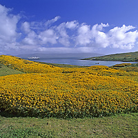 """FALKLAND ISLANDS. Gorse bushes on Carcass Island. National Geographic """"Endeavor"""" in background."""