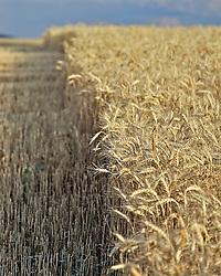 Amber waves of grain. Farming in east Idaho