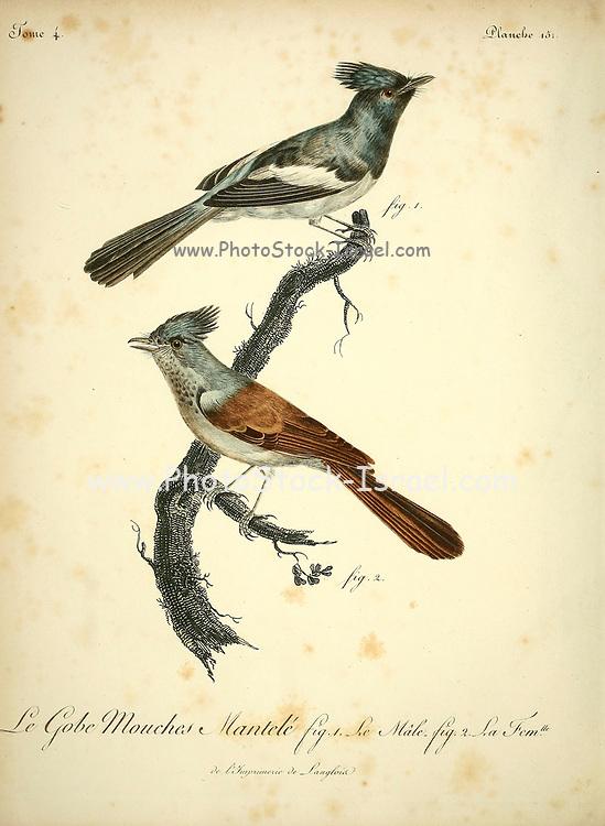 Male and Female Gobe-mouches mantelé from the Book Histoire naturelle des oiseaux d'Afrique [Natural History of birds of Africa] Volume 4, by Le Vaillant, Francois, 1753-1824; Publish in Paris by Chez J.J. Fuchs, libraire 1805