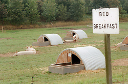 Bed and breakfast sign at farm with free range pigs in corrugated iron huts,