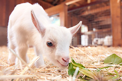 """Jeffrey, one of four goats born at the Oakland Zoo last Tuesday, forages for food in its enclosure, Wednesday, Feb. 27, 2013 in Oakland, Calif. Zookeepers said that the unusual litter, or """"tribe"""" of four goats were the first at the zoo in more than 15 years. (D. Ross Cameron/Staff)"""