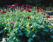 Poppies in Les Brake's Coyote Gardens, Willow, Alaska.