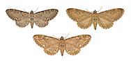 70.183 (1834)<br /> Common Pug - Eupithecia vulgata<br /> bottom= ssp. scotica