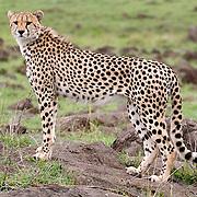 Cheetah (Acinonyx jubatus) Masai Mara Game Reserve. Kenya. Africa.
