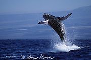 humpback whale, Megaptera novaeangliae, breaching, Hawaii Island, #2 in sequence of 6; caption must include notice that photo was taken under NMFS research permit #587