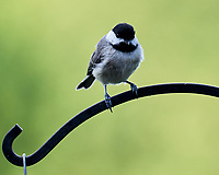 Black-capped Chickadee. Image taken with a Leica SL2 camera and 90-280 mm lens.