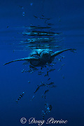 leatherback sea turtle, Dermochelys coriacea, with pilot fish, Naucrates ductor, Azores Islands, ( North Atlantic Ocean )