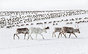 Spring migration of the reindeer herds of the south saami group of Gåbrien Sijte (Riast-Hylling reinbeitedistrikt) in the mountains between Tyal and Holtålen.